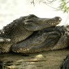 Animal of the month: Crocodile